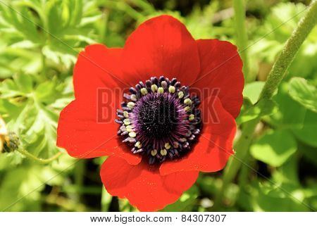 Closeup Of Red Anemone Flower.