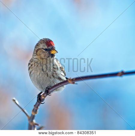 bird common redpoll