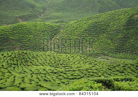 Green Tea plantation in Cameron Highland Valley