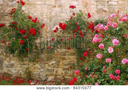 Rosebushes Against The Old Wall