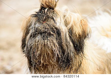 Wet Dirty White Brown Puppy Shih Tzu In Sand