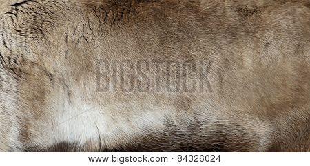 A warm furry Reindeer (Rangifer tarandus) pelt. poster