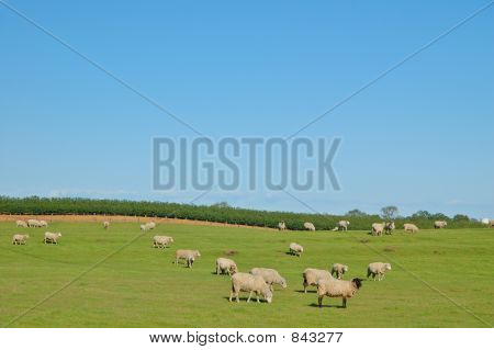 Sheep in a pasture in Northern California in spring poster