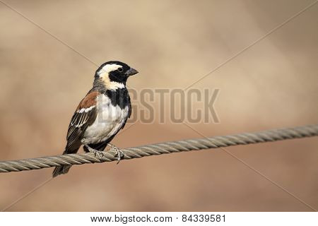 Small cape weaver bird sitting on a fence