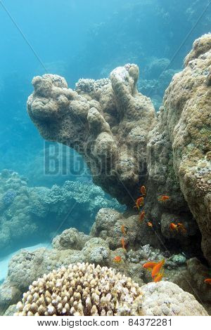 Coral Reef With Exotic Fishes Anthias - Underwater