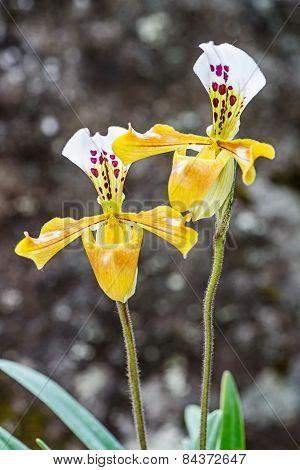 Paphiopedilum Orchid ,lady Slipper Orchid,cypripedium Sp.