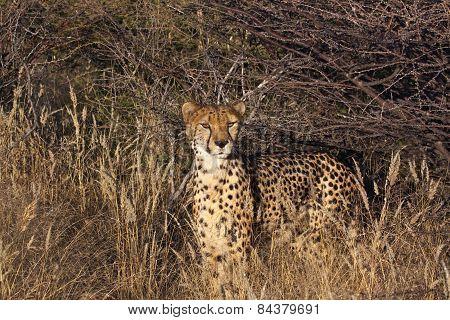 Cheetah looking around from the veld.
