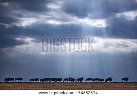 A line of wildebeest walks under a stormy sky