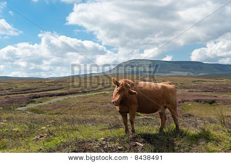 Cow In The Mountains