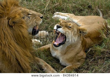 Lions have a domestic fight in Kenya