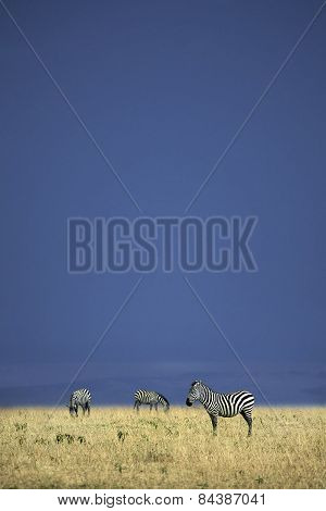 A zebra in the open veld of Kenya
