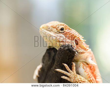 Bearded Dragon Or Pogona Vitticeps, Selected Focus.