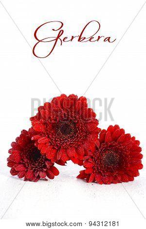 Bright Red Gerbera Daisy Flowers