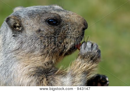 marmot eating (a carrot) in french alps poster