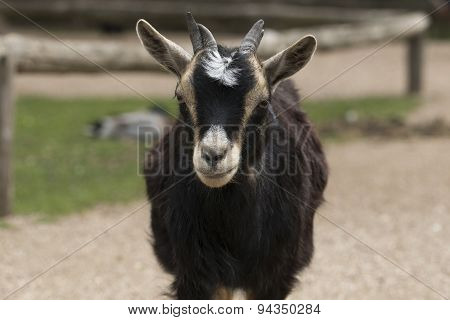Headshot Of Four Horned Goat