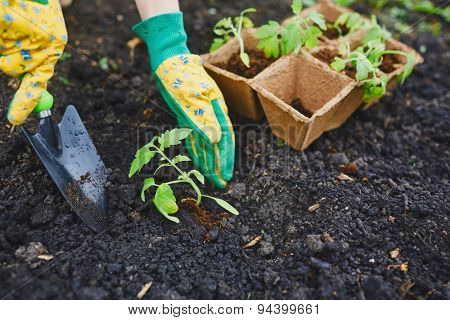 Gardener in gloves replanting tomato seedlings