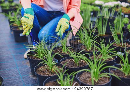 Female in gloves replanting seedlings