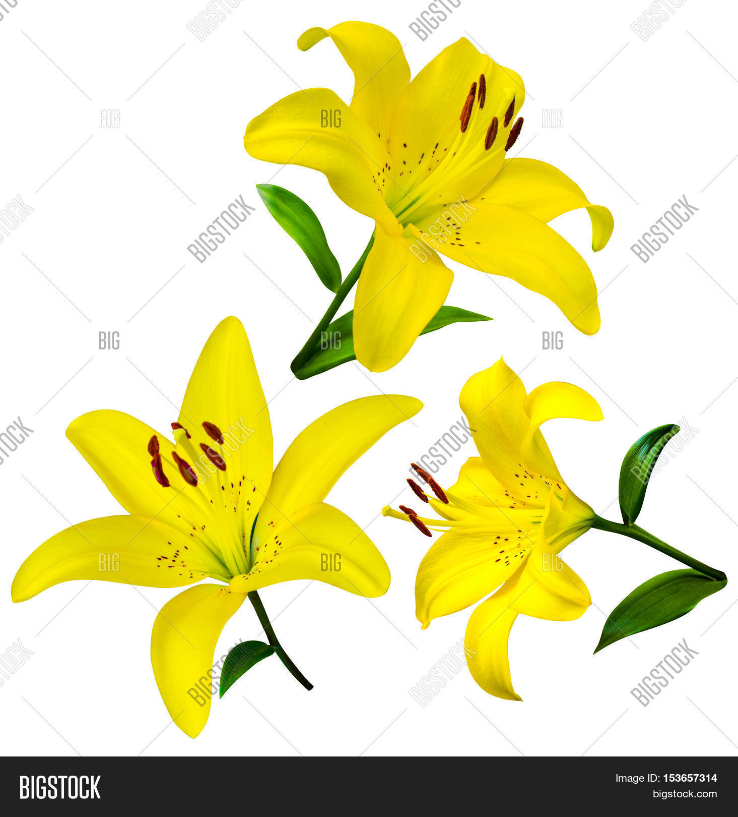 Lily Flowers Isolated Image Photo Free Trial Bigstock