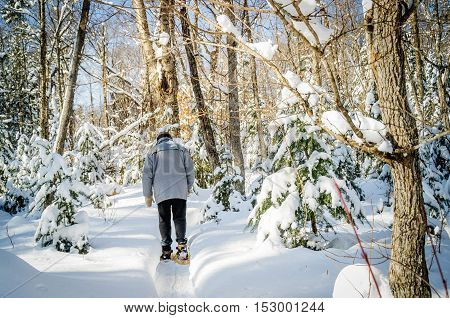 winter scene with christmas trees and senior walking with snowshoes in a small path after snowstorm quebeccanada