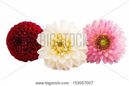 beautiful dahlia beautiful flower on white background