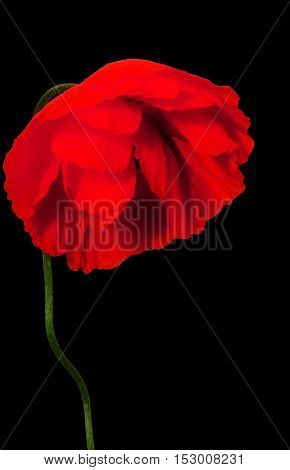 sad wild poppy on a black background