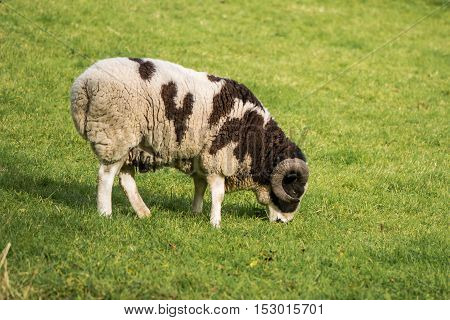 Two horn pedigree Jacob sheep ram. Rare brown and white piebald sheep kept as ornamental pet with two curved horns