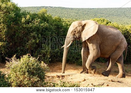 Elephant Taking A Walk Looking So Lonely