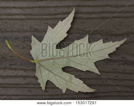 Back side of maple leaf on brown boards with stem on the left