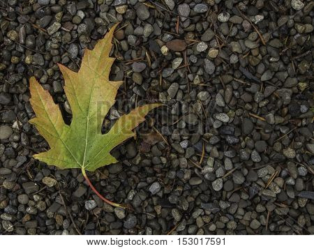 Single green red and yellow maple leaf curving on left side of frame on a bed of gravel