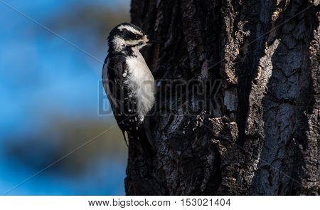 Downy woodpecker close up pecking a hole into a tree