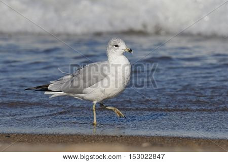 Adult Ring-billed Gull (Larus delawarensis) in non-breeding plumage walking on a Lake Huron beach - Grand Bend Ontario Canada