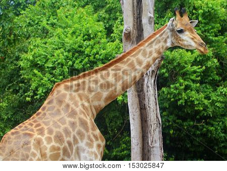 back and shoulders of giraffe standing in front of a tree trunk at a zoo
