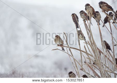 Sparrows sitting in bush in winter park. Frosty weather. Urban fauna.