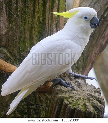 Sulfur-crested Cockatoo perching on top of stump with one lifted foot