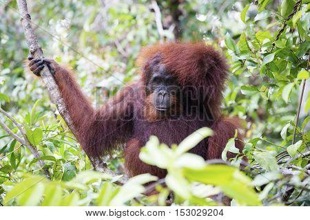 An orang-utan in its native habitat. Rainforest of Borneo.