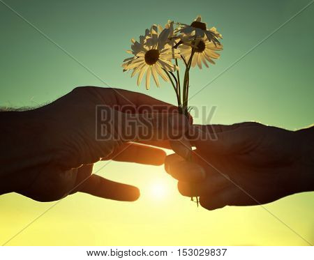 Hand gives a flowers marguerites with love at sunset. Romantic concept.