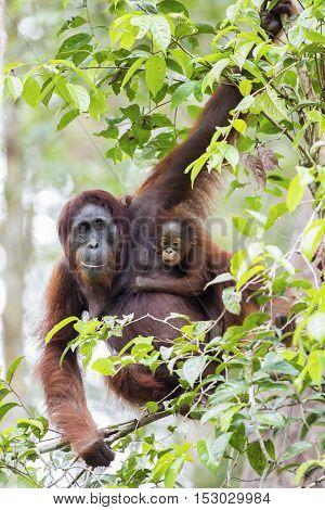 Mother & baby orang-utan in their native habitat. Rainforest of Borneo.