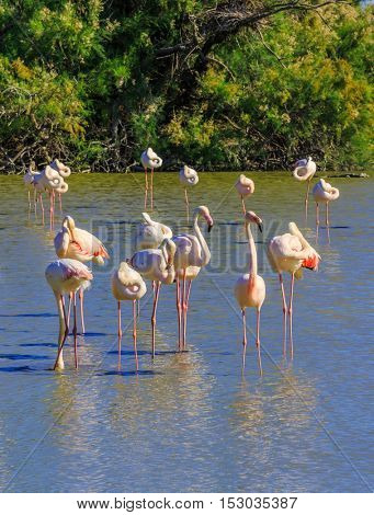 Evening in the National Park of the Camargue, Provence, France. Large flock of pink flamingos. Exotic birds sleep at sunset