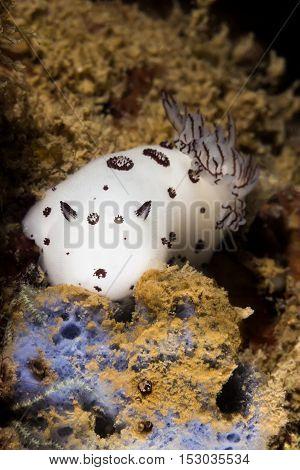 Nudibranch (jounna Funebris) Sea Slug