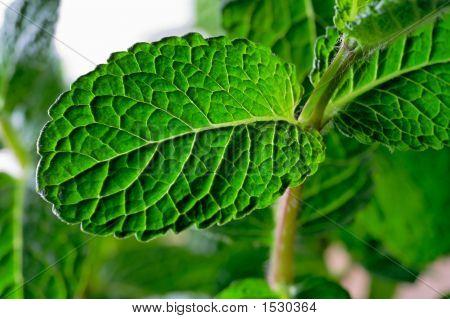 Mint Leaves Closeup