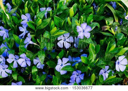 Periwinkle With Flowers Close-up