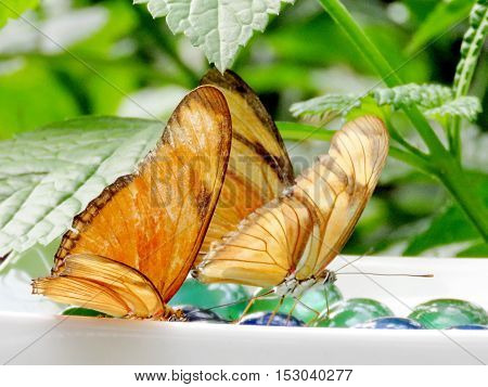 Orange Sulphur butterflies in garden of Niagara Falls Canada July 16 2016
