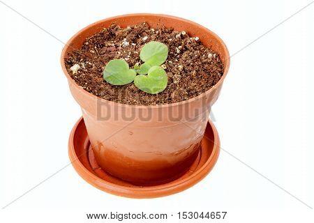 Seedlings Of Violets In Brown Pot