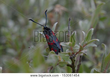 Close up of a butterfy called  cinnabar moth