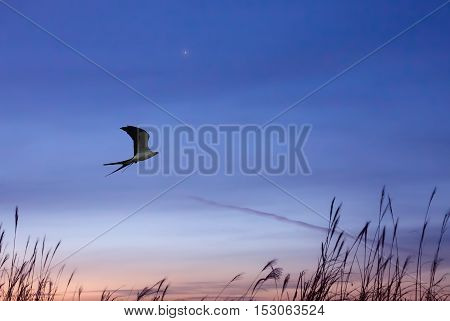 Swallow-tailed kite on evening blu sky background