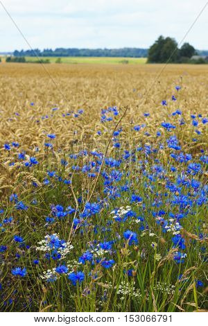 Cornflower cereals at the forefront of the field, in the middle of the summer.