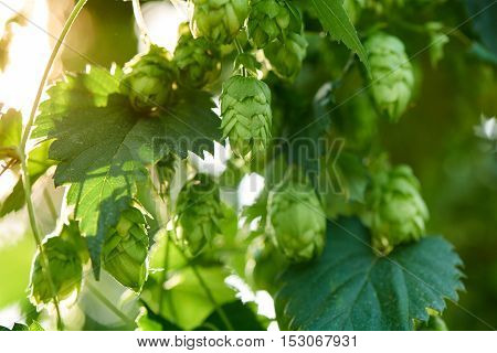 Closeup of ripe hop cones in the hop field. Beer production material.