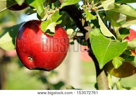 red ripe worm-eaten apple on a branch