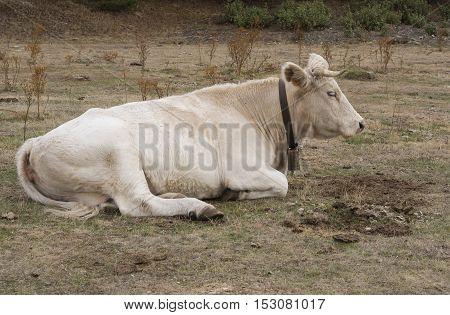 Cow lying in Nature Park Tejera Negra. Guadalajara. Spain