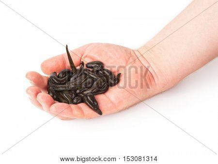 Leeches in  hand